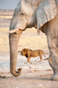 Elefant+Loewe_Etosha